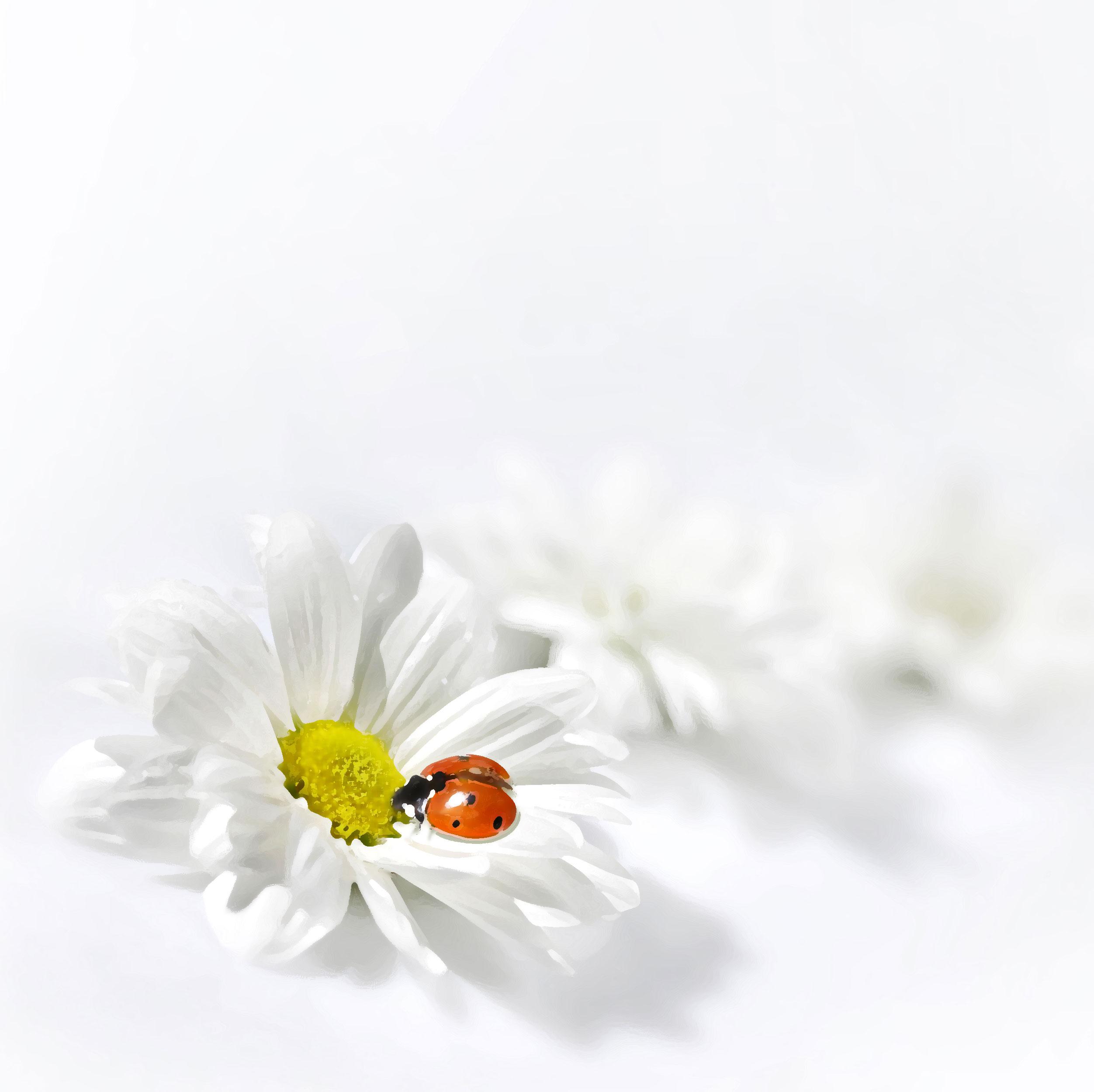 白いの花のイラスト・フリー素材/背景・壁紙no.416『白・花びら