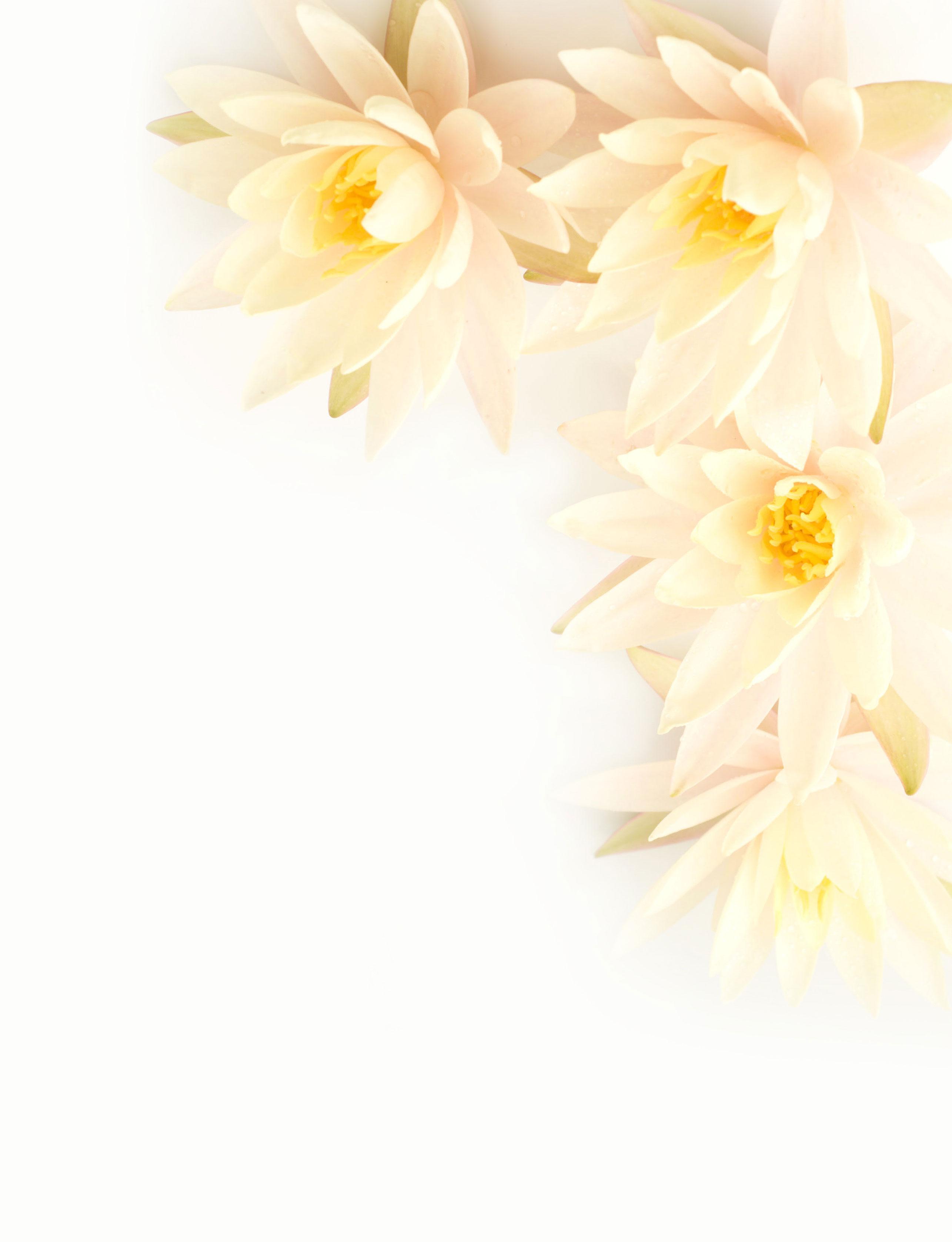 花のイラスト・フリー素材/壁紙・背景no.705『白い蓮・リアル』