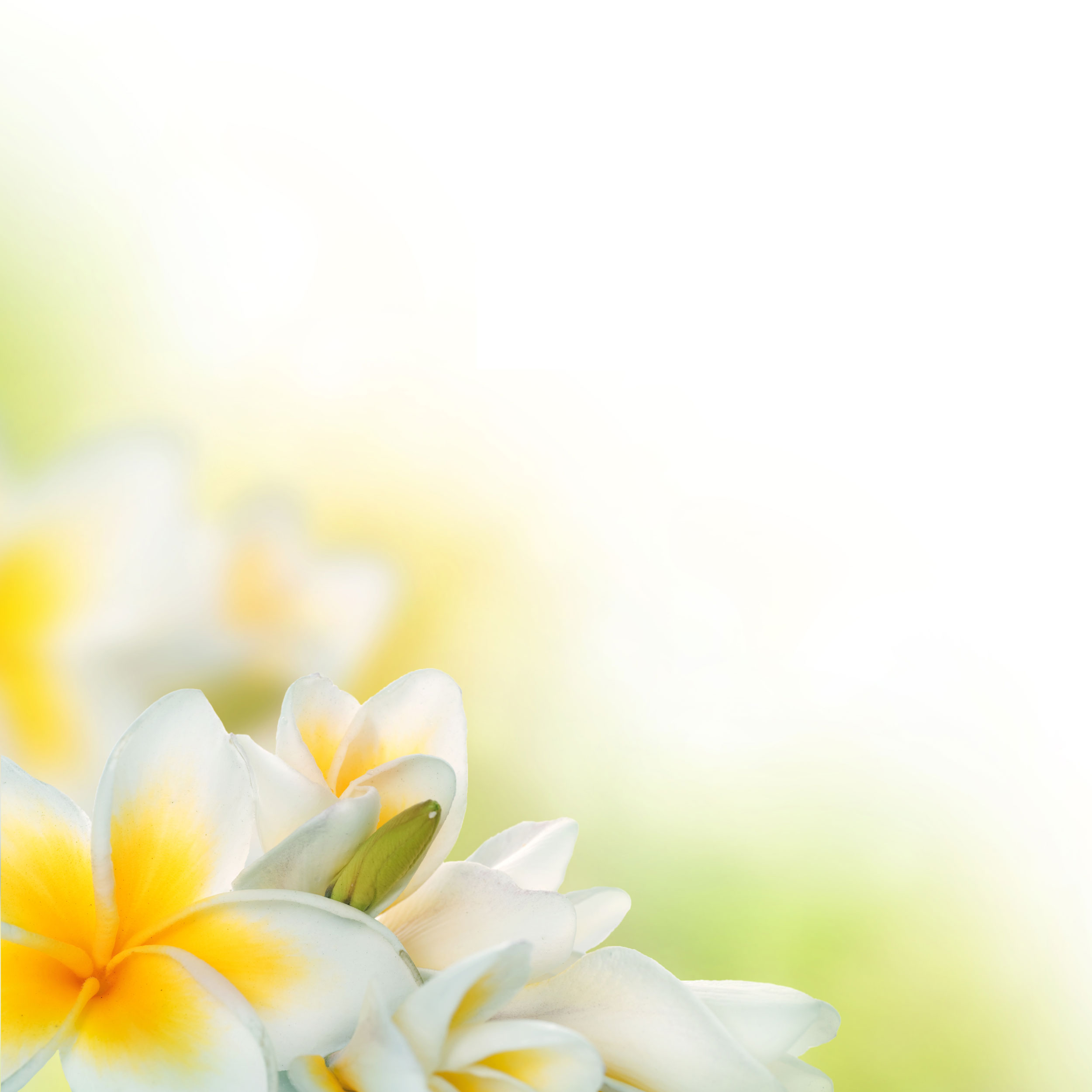 白いの花のイラスト・フリー素材/背景・壁紙no.426『白黄・プルメリア