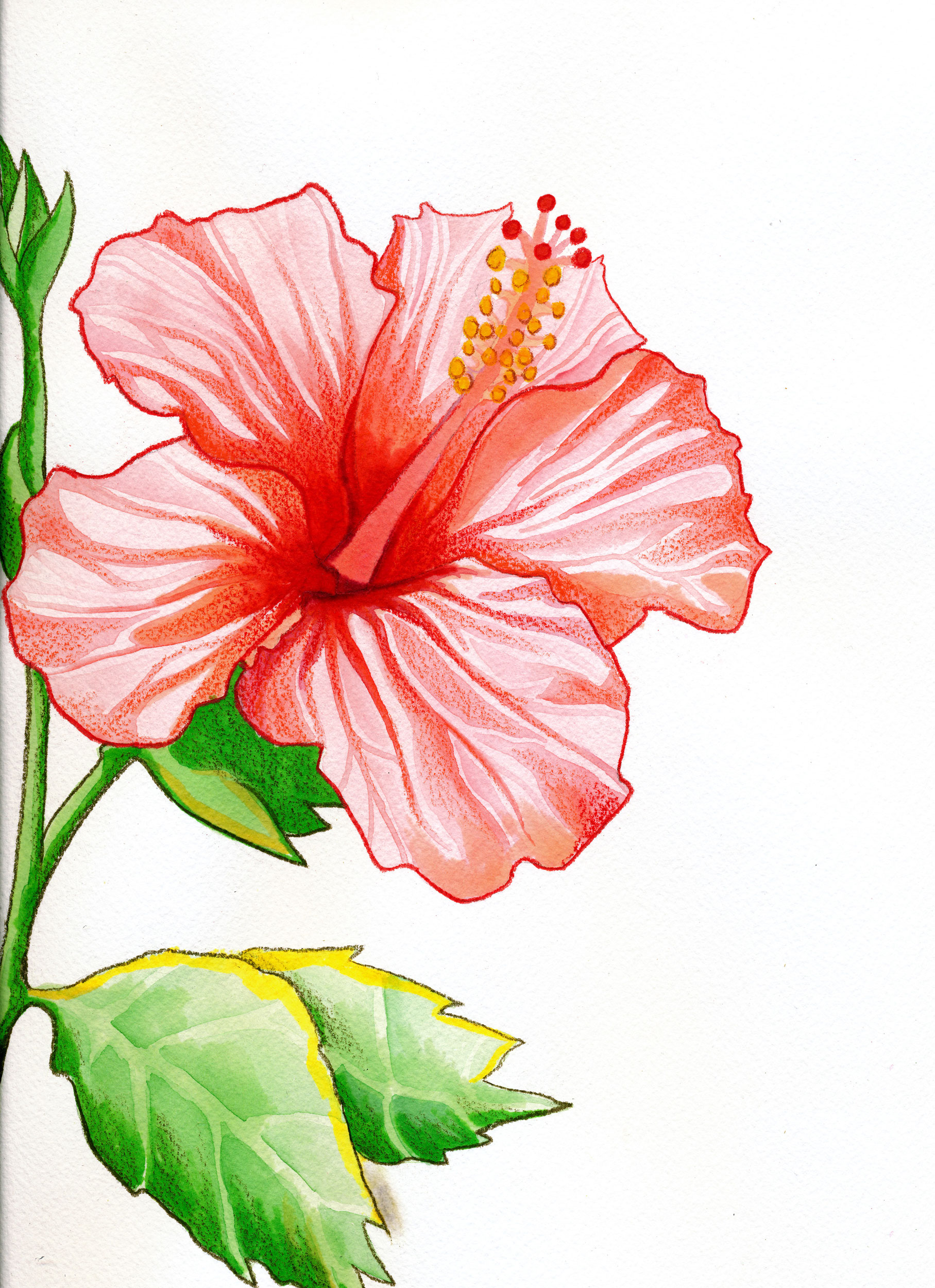 Pink Hibiscus Plant Drawing | www.imgkid.com - The Image ...