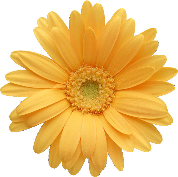 gerber daisy clip art Car Tuning