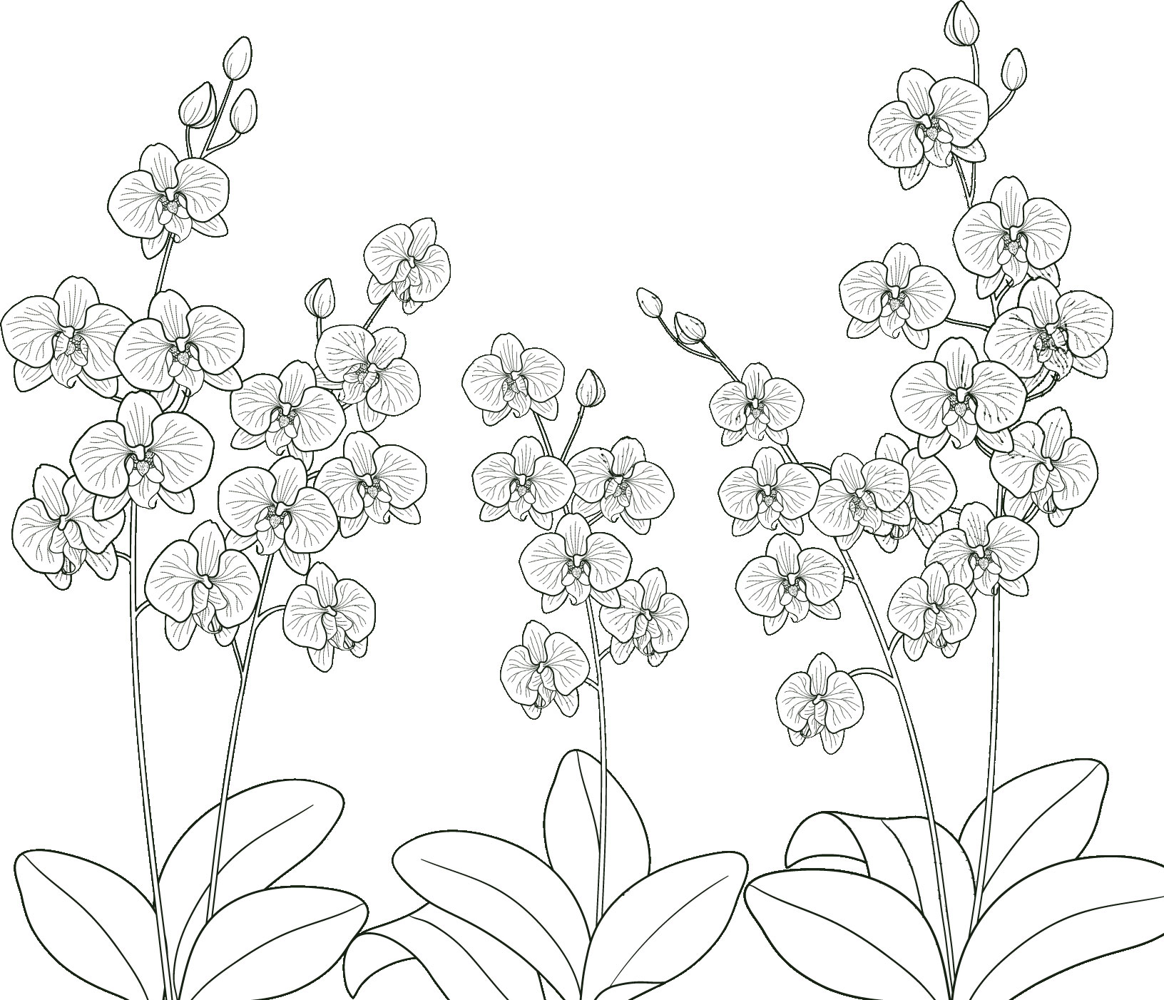 花のイラストフリー素材白黒モノクロno032胡蝶蘭白