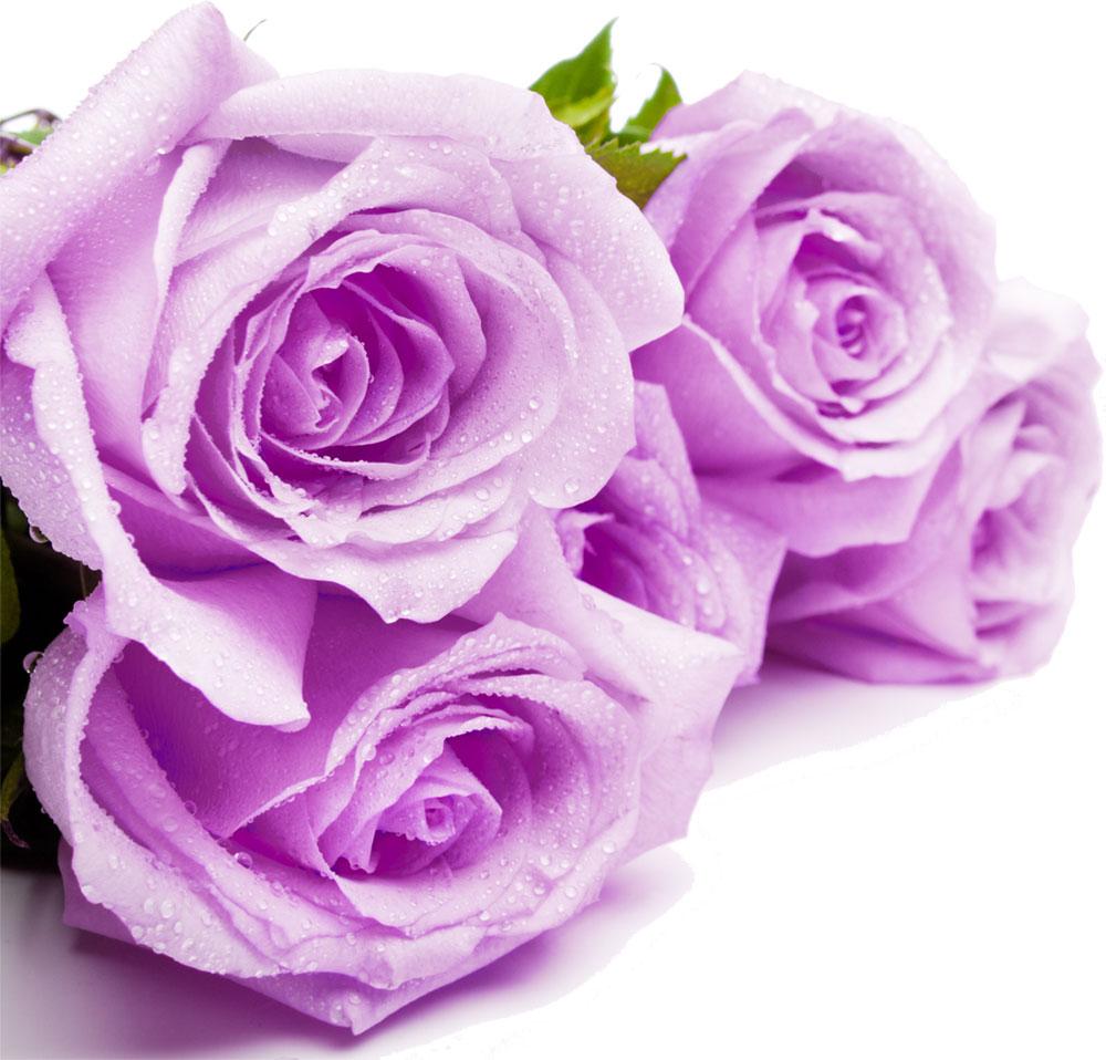 バラの写真 画像 フリー素材 No 1109 紫 バラ