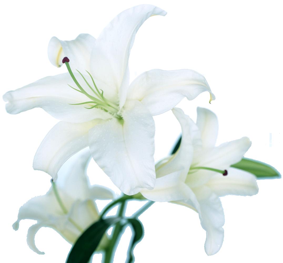 百合(ゆり)の花の写真・画像・フリー素材