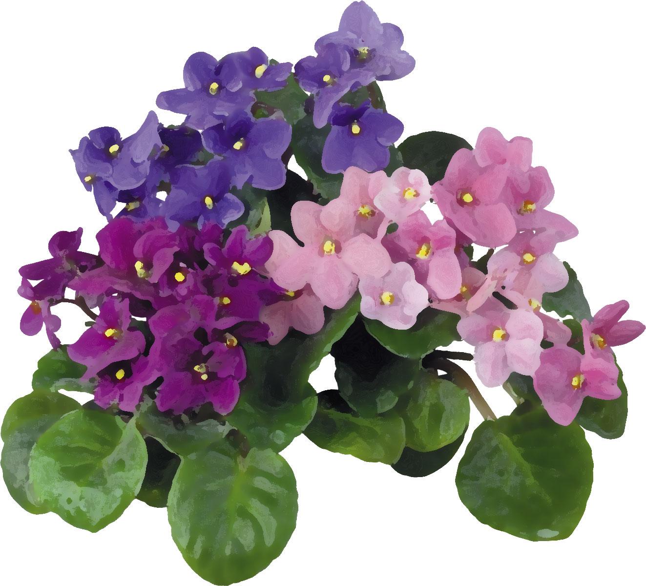 リアルタッチな花のイラストフリー素材no883スミレ青紫ピンク