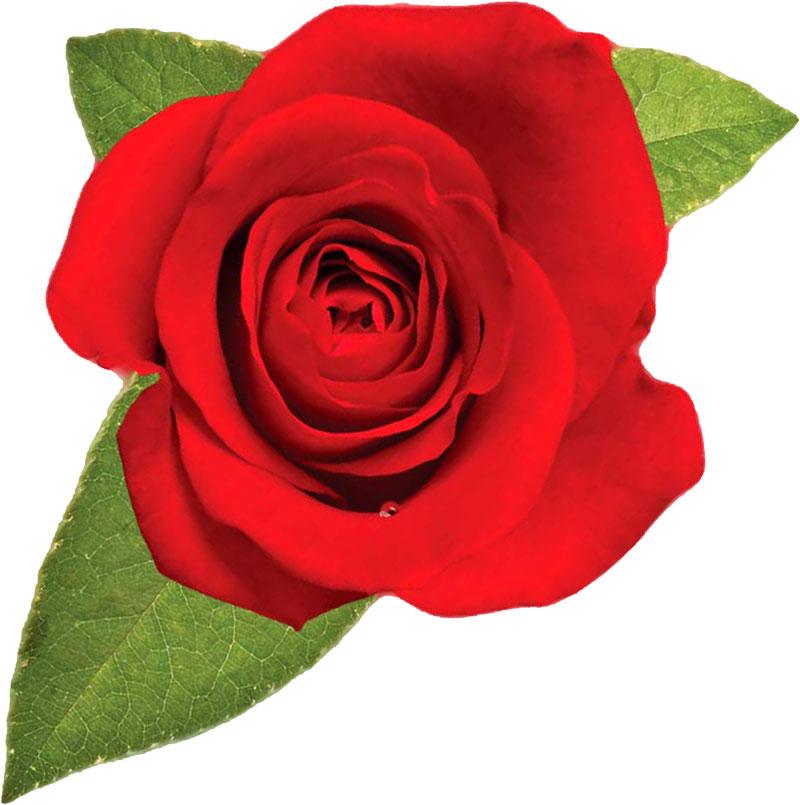 バラの画像 p1_16