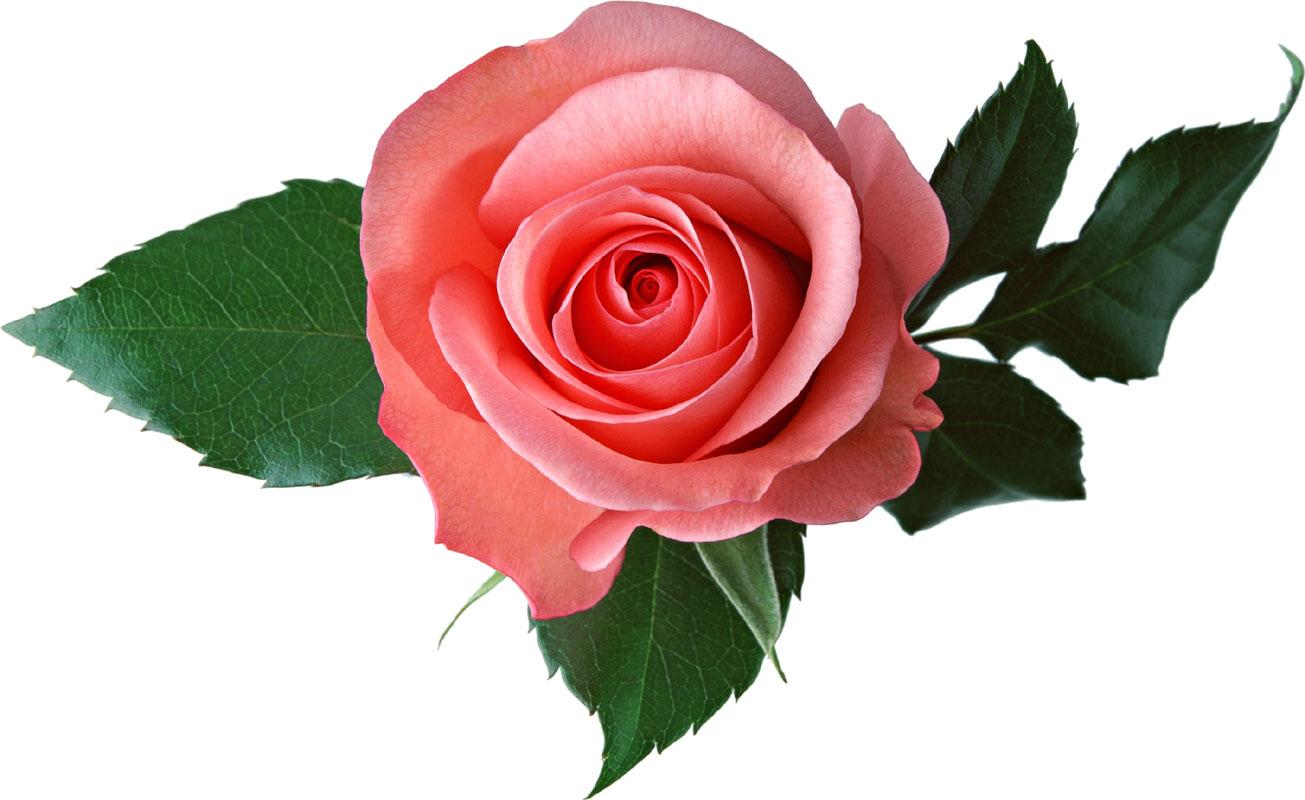 バラの栄養と効果 : 薔薇を食べ...