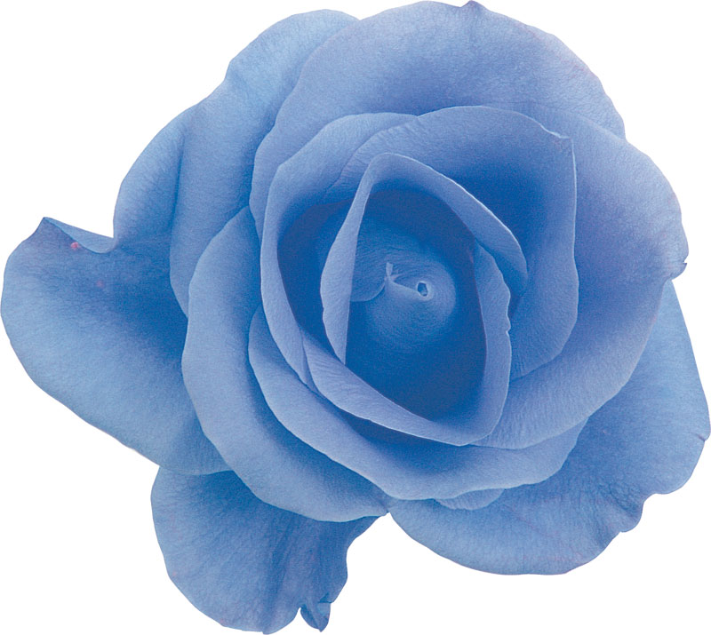 青い バラ 花 言葉 青い薔薇の花言葉・本数の意味・青い薔薇誕生まで-自己啓発するならMa...