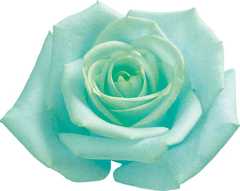 青い バラ 花 言葉 青いバラの花言葉の意味・由来は?本数によって変化するの?