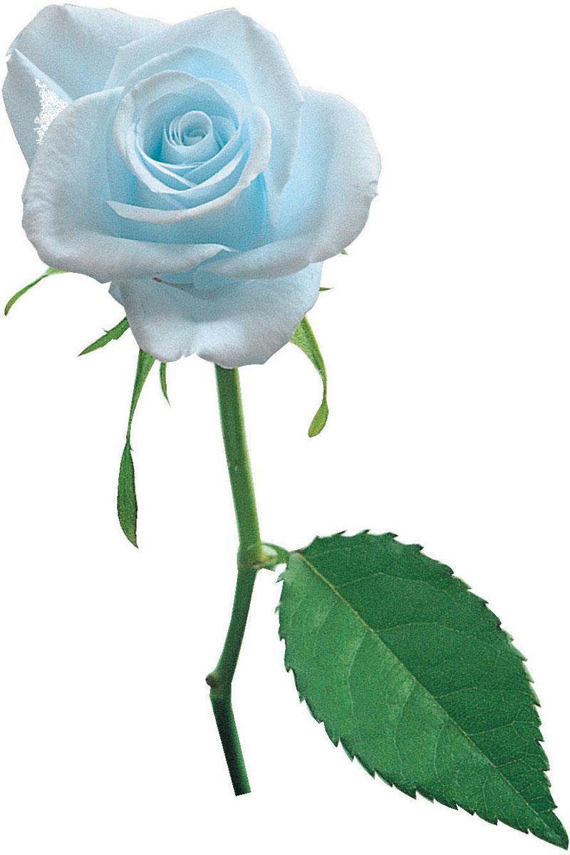 """青い バラ 花 言葉 """"青いバラ""""の花言葉が、「不可能」から「夢 かなう」に(tenki.jpサプリ"""