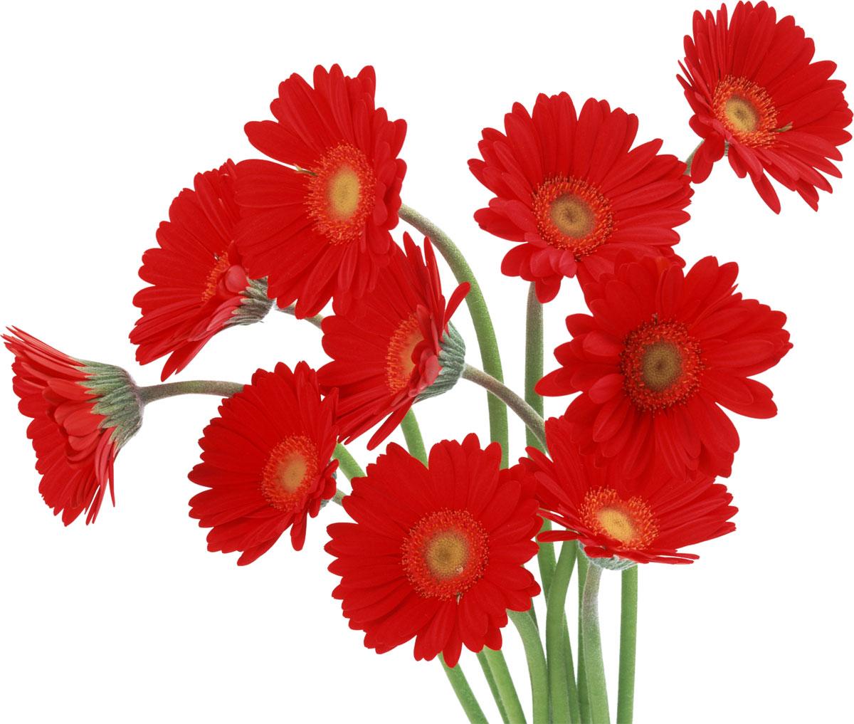 ガーベラ 花言葉 赤