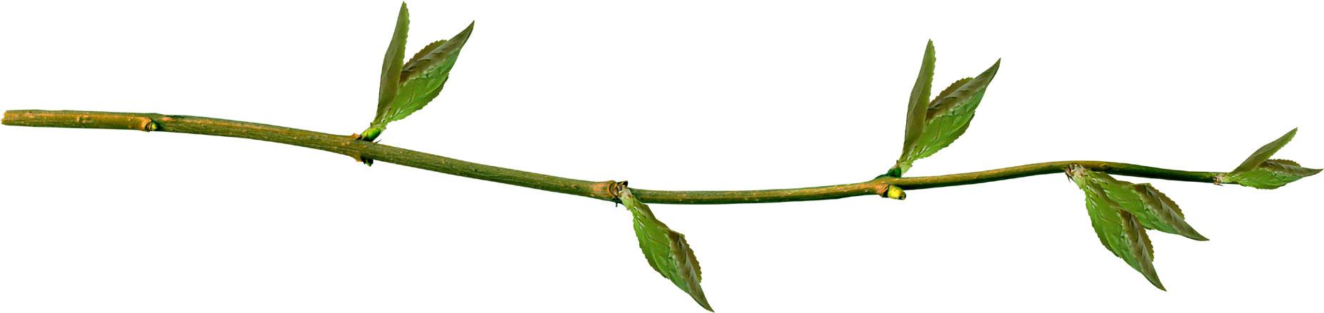 葉っぱや草木のイラスト・画像・フリー素材/No.251『枝葉・横長』